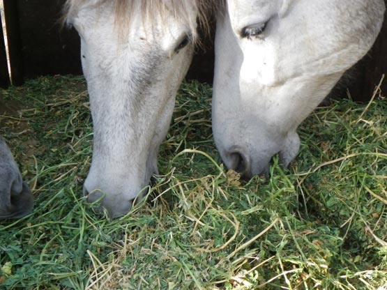 Caballos comiendo alfalfa