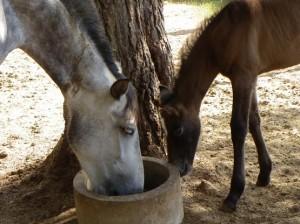 Alimentación de la yegua en lactación y del potro antes del destete.