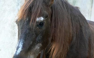 La alimentación de los caballos mayores