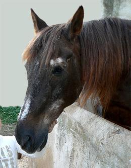 Marqués, caballo veterano que vivió feliz muchos años en el Club Hípico el Sayton