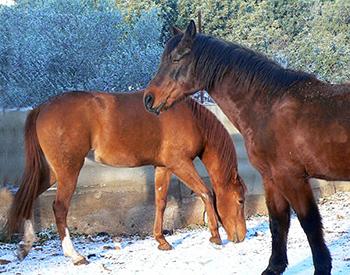 caballos-en-la-nieve