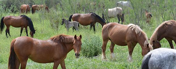 caballos-pastando
